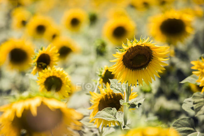 Sunflowers blooming in summer sunny field — Stock Photo