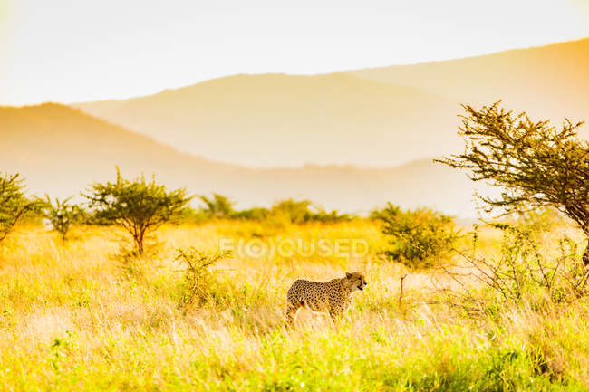 Cheetah walking in sunny nature, Zululand, South Africa, Africa — Stock Photo