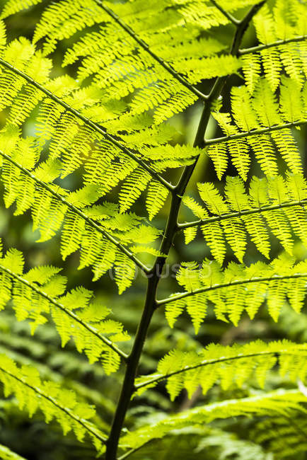 Close-up of green fern leaves in rainforest — Stock Photo