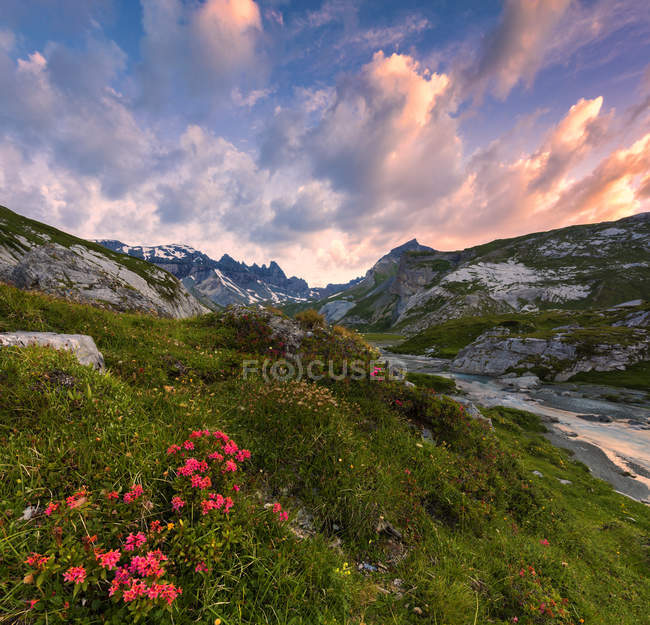 Flowering of rhododendrons in mountains at sunrise, Unterer Segnesboden, Flims, District of Imboden, Canton of Grisons, Switzerland — Stock Photo