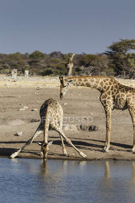 Baby giraffa con acqua potabile madre al waterhole in natura, Parco nazionale di Etosha, Namibia, Africa — Foto stock