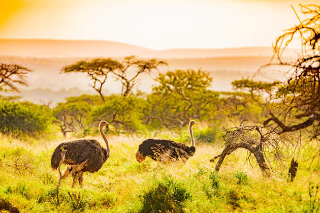 Ostriches walking in grass in savanna, Zululand, South Africa, Africa — Stock Photo