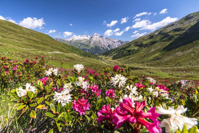 White and fuchsia colored rhododendrons growing on meadow in mountains, Spluga Pass, canton of Graubunden, Switzerland — Stock Photo