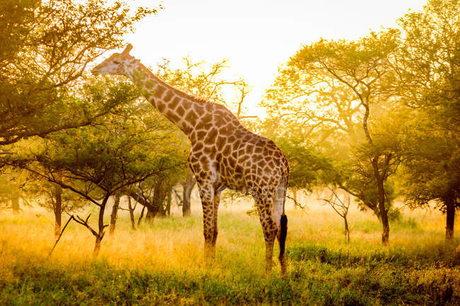 Giraffe standing in sunny nature, Zululand, South Africa, Africa — Stock Photo