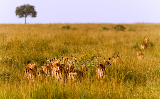 Herd of gazelles walking in savanna, Maasai Mara National Reserve, Kenya, East Africa, Africa — Stock Photo