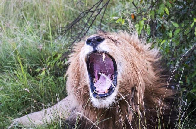 Leone maschio che sbadiglia in erba, Masai Mara National Reserve, Kenya, Africa orientale, Africa — Foto stock