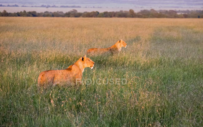 Lions hunting at dusk on safari, Samburu National Park, Kenya, East Africa, Africa — Stock Photo