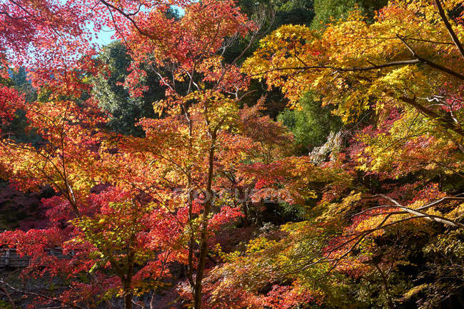 Background of Japanese maple trees in autumn — Stock Photo