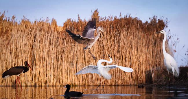 Сірий чапля і білий чапля бої в Pusztaszer Національний парк, Угорщина, Європа — стокове фото