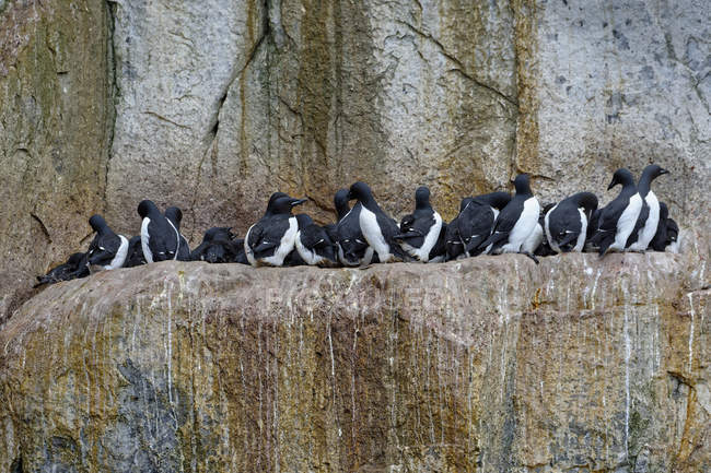 Thick-billed Murres colony resting on rock, Alkefjellet Hinlopen Strait, Svalbard archipelago, Arctic, Norway — Stock Photo