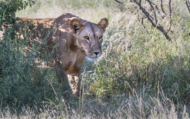 Lioness cazando en la reserva nacional de Samburu, Kenia, África Oriental, África - foto de stock