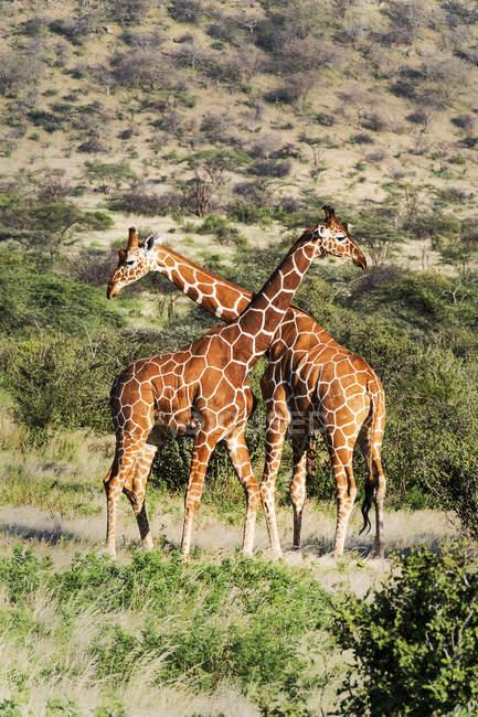 Reticulated giraffes necking in nature, Samburu National Reserve, Kenya, East Africa, Africa — Stock Photo