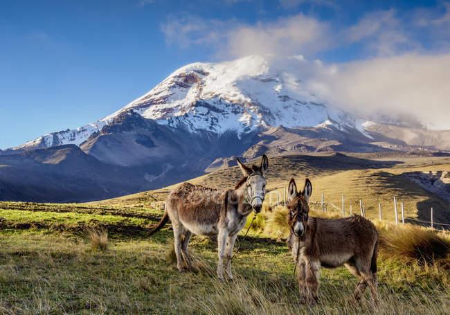 Esel mit Blick auf die Kamera vor dem Vulkan Chimborazo, Provinz Chimborazo, Ecuador, Südamerika — Stockfoto