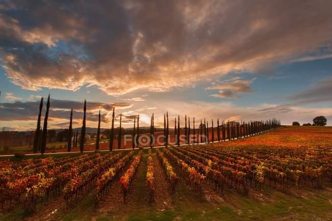 Weinberge der Sagrantino di Montefalco bei Sonnenuntergang im Herbst, Umbrien, Italien, Europa — Stockfoto