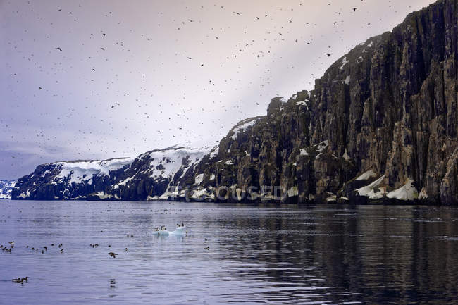 Thick-billed Murres colony over water near cliffs, Alkefjellet Hinlopen Strait, Svalbard archipelago, Arctic, Norway, Europe — Stock Photo