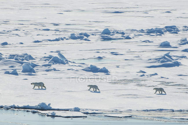 Polar bear cubs walking in snow in the high arctic near the North Pole, Arctic, Russia, Europe — Stock Photo