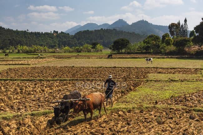 Reisvier-Feldarbeiterzucht in der Nähe von Andasibe, Madagaskar, Afrika — Stockfoto