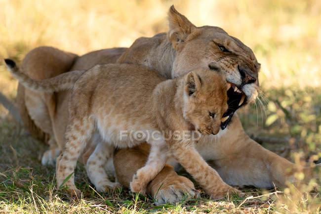 Filhote de repreender da leoa no Savanna, Masai Mara, Kenya, África do leste, África — Fotografia de Stock