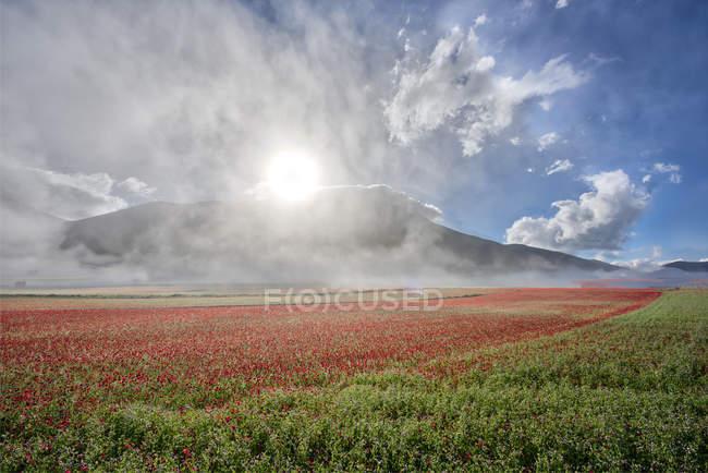 Цветы, цветение на плато пиано Гранде на рассвете, национального парка Сибиллини, Умбрия, Италия — стоковое фото
