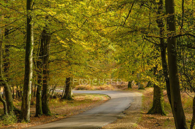 Hêtres en automne et route étroite, parc National de New Forest, Hampshire, Angleterre, Royaume Uni — Photo de stock