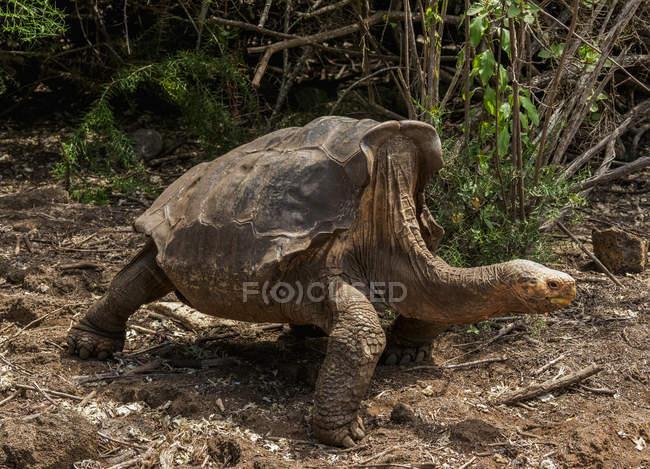 Riesenspattoise in der Natur, Charles Darwin Research Station, Puerto Ayora, Santa Cruz Island, Galapagos, Ecuador, Südamerika — Stockfoto