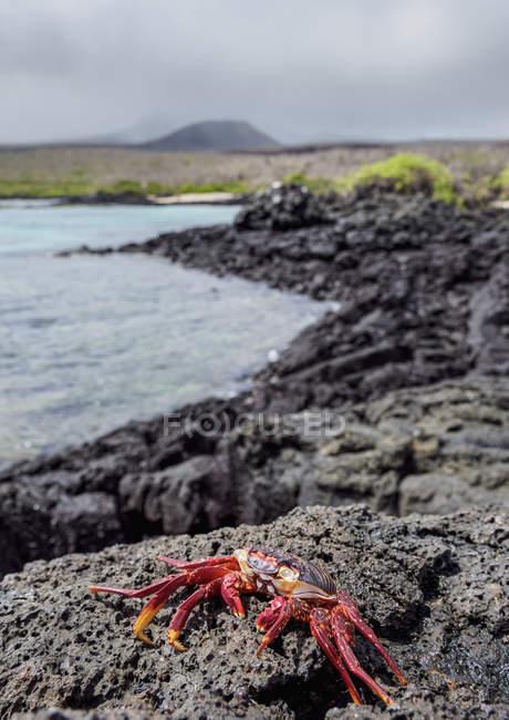 El cangrejo de Sally Lightfoot en la costa rocosa, isla de Floreana (Charles), Galápagos, Ecuador, Sudamérica - foto de stock