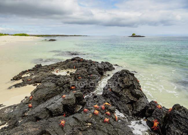 Крабы из Салли Лайтфут на прибрежном камне, залив Салливан, Сантьяго (Джеймс), Галапагосские острова, Эквадор, Южная Америка — стоковое фото