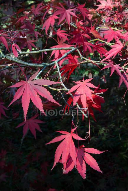 Ветви кленовых листьев осенью на размытом фоне — стоковое фото