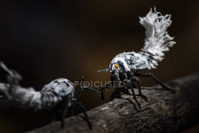 Flatid foglia-bug NINS su ramo di albero su sfondo scuro — Foto stock