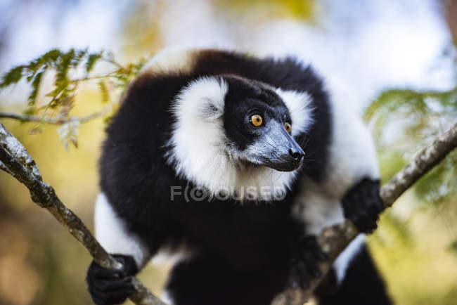 Lémur rufo de blanco y negro (Varecia variegata) encaramado en el árbol, endémico de Madagascar, Andasibe, África - foto de stock