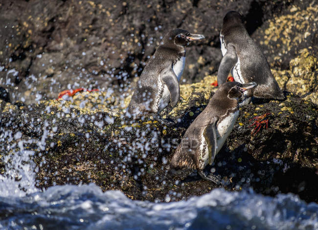 Galapagos penguins (Spheniscus mendiculus) on rocky coast, Bartolome Island, Galapagos, Ecuador, South America — Foto stock