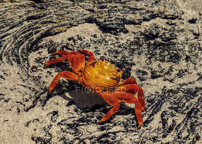 Sally Lightfoot cangrejo (Grapsus grapsus) en la arena, Sullivan Bay, Santiago (James) Island, Galápagos, Ecuador, Sudamérica - foto de stock