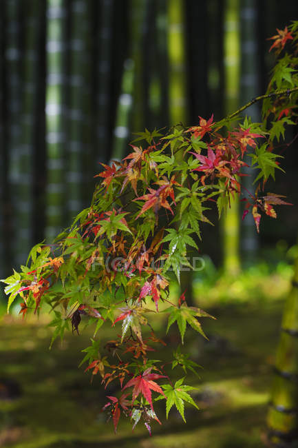 Close-up of Acer branch in autumn forest — Stock Photo