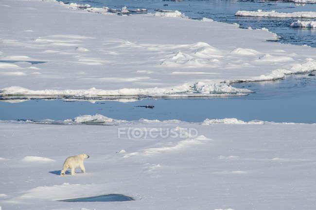 Ours polaire (Ursus maritimus) marchant dans le paysage de neige dans le haut Arctique près du pôle Nord, Arctique, Russie, Europe — Photo de stock