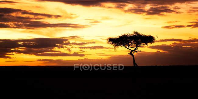 Solo Acacia Tree en puesta del sol, Masai Mara, Kenya, en África Oriental, África - foto de stock