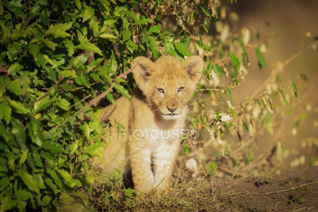 Cute lion cub sitting in bush, Masai Mara, Kenya, East Africa, Africa — стоковое фото