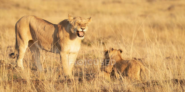 Roaring lioness with cub in savanna, Masai Mara, Kenya, East Africa, Africa — Stock Photo