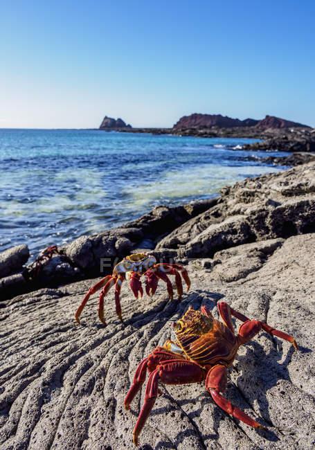 Sally Lightfoot granchi sulla roccia costiera, Sullivan Bay, isola di Santiago (James), Galapagos, Ecuador, Sud America — Foto stock