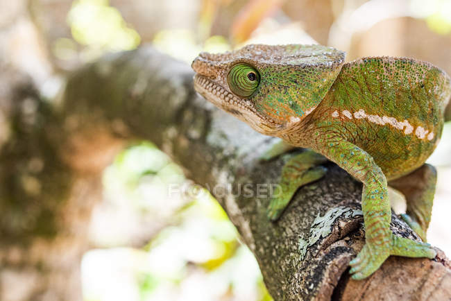 Close-up de Parsons caméléon se percher sur le brunch des arbres (Calumma parsonii), endémique à Madagascar, en Afrique — Photo de stock