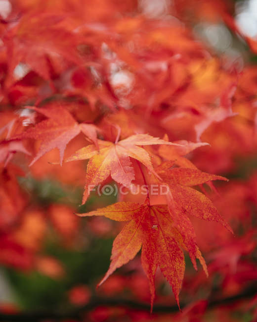 Branch of maple leaves during autumn on blurred background — Stock Photo