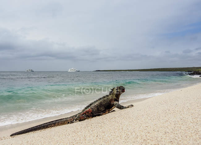 Marine iguana (Amblyrhynchus cristatus) on sandy beach at Punta Suarez, Espanola (Hood) Island, Galapagos, Ecuador, South America — Stock Photo