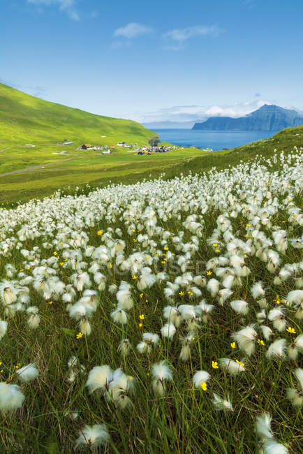 Cotton grass during summer bloom, Gjogv, Eysturoy island, Faroe Islands, Denmark — Stock Photo