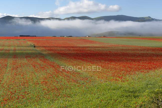 Цветы, цветение на плато пиано Гранде, национального парка Сибиллини, Умбрия, Италия — стоковое фото