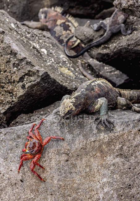 Iguana marina y el cangrejo Sally Lightfoot en roca, punta Suarez, Isla espanola (campana), Galápagos, Ecuador, Sudamérica - foto de stock