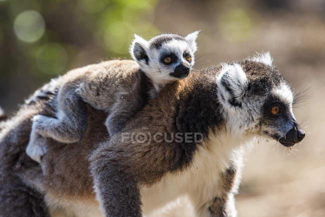 Bebê lémur empoleirado nas costas da mãe, reserva comunitária de Anja, Haute Matsiatra região, Madagáscar, África — Fotografia de Stock