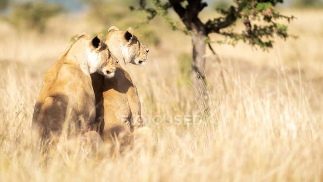 Leoas que observam o território no Savanna, Masai Mara, Kenya, África do leste, África — Fotografia de Stock