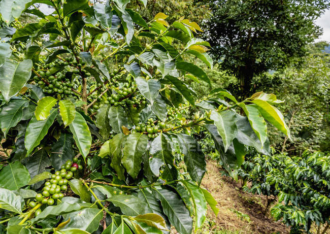 Green coffee plantation with unripe fruits — Stock Photo