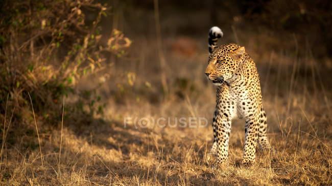 Caza de leopardo femenino en Sabana, Masai Mara, Kenia, África Oriental, África - foto de stock