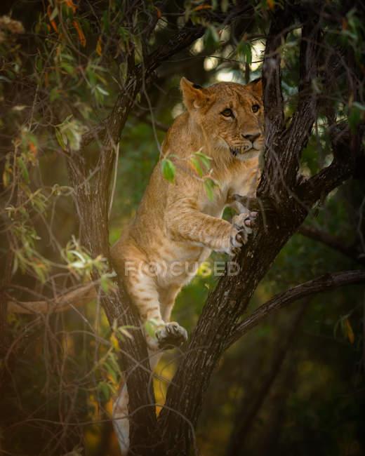 Filhote de leão empoleirado na filial de árvore, Masai Mara, Kenya, África Oriental, África — Fotografia de Stock