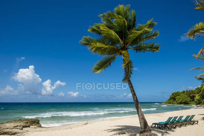 Palm tree growing on Carambola Beach Resort in Saint Croix, US Virgin Islands — стокове фото